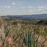 ORIGIN OF AGAVE DRINKS